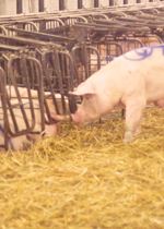 A sow staring at another sow who is inside a free access stall.