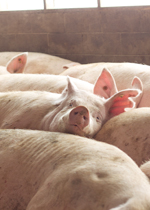 Sows snuggling closely together in a nest.