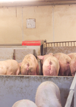 Sows waiting in line to use an ESF station.