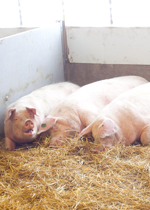 Sows resting together in their nest, heads facing the open side.
