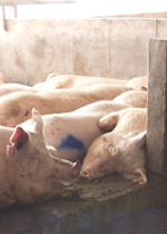 Sows lying in the sunlight within the security of an elevated nest.