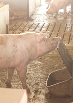 A sow lifting the lid protecting a waterer, so she can get a drink.