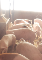 Growing pigs eating together at a feeder.