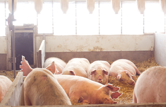 Sows in a large bedded gestation pen with nests.